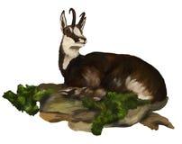 Le chamois est situé dans l'herbe Images stock