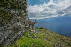 Le chamois examine la distance Photo libre de droits
