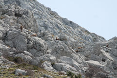 Le chamois (rupicapra de Rupicapra) Photo stock