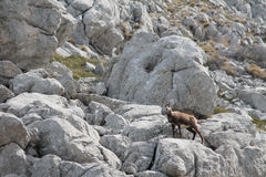 Le chamois (rupicapra de Rupicapra) Photos libres de droits
