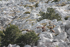 Le chamois (rupicapra de Rupicapra) Photos stock