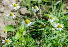 Le chamomilla de Matricaria fleurit, généralement connu comme camomille Photos stock
