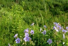 Le champ bleu fleurit des paysages de l'Ukraine Photos libres de droits