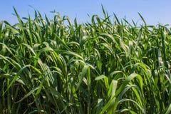Le champ d'herbe verte Images stock