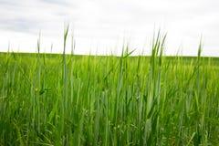 Le champ d'herbe verte Photographie stock