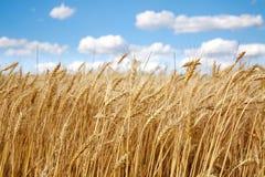 Le champ de blé sous le blanc opacifie sur le ciel bleu Photographie stock libre de droits