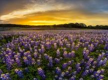 Le champ de bluebonnet de Texas dans le coucher du soleil à la récréation de courbure de Muleshoe sont Images stock