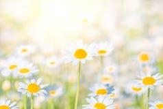 Le champ de camomille fleurit la frontière Fond photos stock