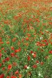 Le champ de floraison du ` s de pavot dans l'heure d'été Photo stock
