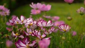 Le champ de jolis pétales pourpres et roses des fleurs de cosmos se développent sur les feuilles vertes, le petit bourgeon en par photo libre de droits