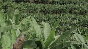 Le champ de la banane verte dans une zone rurale des Antilles part dans le premier plan banque de vidéos