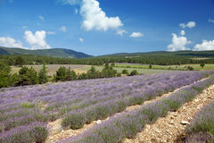 Le champ de la lavande fleurissante en Provence Photo stock