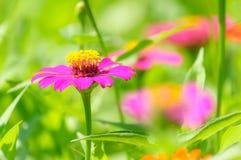 Le champ de la marguerite fleurit coloré Image stock