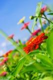 Le champ de la marguerite fleurit coloré Images libres de droits