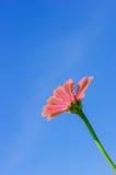 Le champ de la marguerite fleurit coloré Photographie stock libre de droits