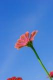 Le champ de la marguerite fleurit coloré Photos stock