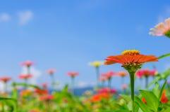 Le champ de la marguerite fleurit coloré Photos libres de droits