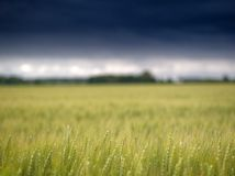 Le champ de maïs avant lui commence à pleuvoir Photographie stock libre de droits