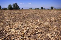 Le champ de maïs dépouille à gauche après récolte Images stock