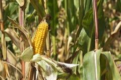 Le champ de maïs sur le champ Images libres de droits