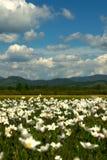 Le champ des marguerites un jour ensoleillé images libres de droits