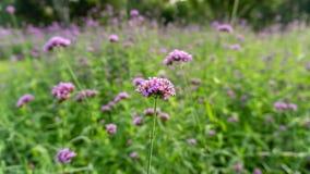 Le champ des p?tales minuscules violets de la fleur de fleur de verveine sur les feuilles vertes brouill?es, savent comme Purplet photo stock