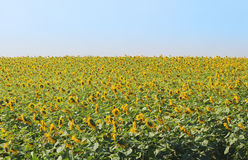 Le champ des tournesols jaunes Photos stock