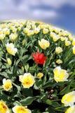 Le champ des tulipes continue pour toujours  Images stock
