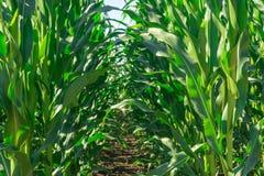 Le champ du jeune maïs pendant la période du volost de lancement rame même Usines saines photographie stock