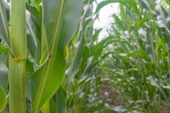 Le champ du jeune maïs pendant la période du volost de lancement rame même Usines saines photos stock