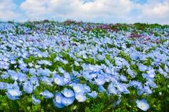 Le champ du nemophila de yeux de bleus layette fleurit pendant le ressort au parc de bord de la mer de Hitachi au Japon Photos stock