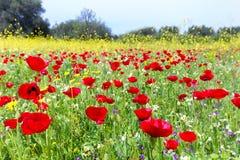 Le champ du pavot rouge fleurit avec les usines jaunes de graine de colza images libres de droits