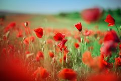 Le champ du pavot rouge lumineux fleurit en été Images libres de droits