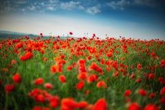 Le champ du pavot rouge lumineux fleurit en été Image libre de droits