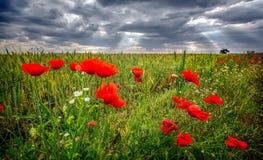 Le champ du ` s de pavot dans l'été, se ferment avec le fond coudy de ciel images stock