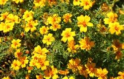 Le champ est beaucoup de petites fleurs jaunes images libres de droits