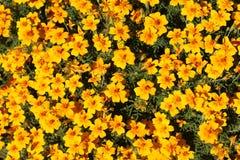 Le champ est beaucoup de petites fleurs jaunes images stock