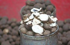 Le champignon d'earthstar de baromètre sur le marché, ont seulement dans la saison des pluies images stock