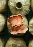 Le champignon d'huître rose (djamor de Pleurotus) sur le frai met en sac Photos libres de droits