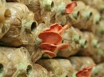 Le champignon d'huître rose (djamor de Pleurotus) sur le frai met en sac Photographie stock