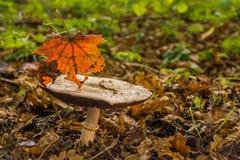 Le champignon dans la forêt orne un jour spectaculaire Photos stock
