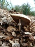 Le champignon de champignon se développe sur la sciure en dehors d'une ville Photos libres de droits