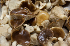 Le champignon de couche comestible a lavé pour faire cuire Photo libre de droits
