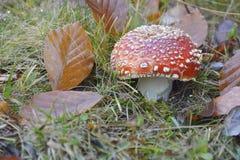 Le champignon de couche dans la forêt Images stock