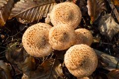Le champignon de couche de miel image stock