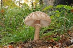 Le champignon de couche de parasol Images stock