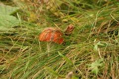 Le champignon de couche regarde hors d'une herbe Photos stock