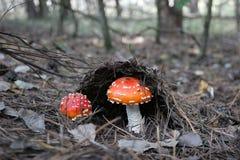 Le champignon de deux automnes avec un chapeau rouge est sorti des aiguilles Photos stock