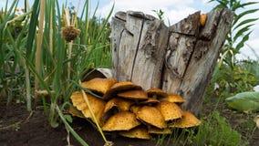 Le champignon est cultivé sur un tronçon Champignons grandissants dans le jardin Image stock