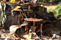 Le champignon et sèchent des feuilles Photographie stock